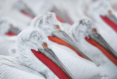 _65C0719Dalmatian-Pelicans,-Greece