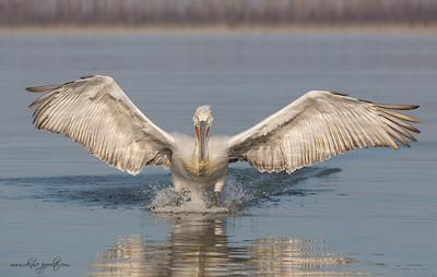 _65C6337Dalmatian-Pelicans,-Greece
