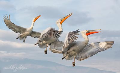 _65C8990Dalmatian-Pelicans,-Greece