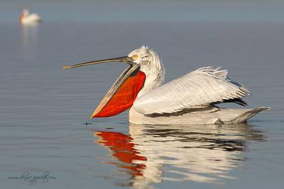 _65C6452Dalmatian-Pelicans,-Greece