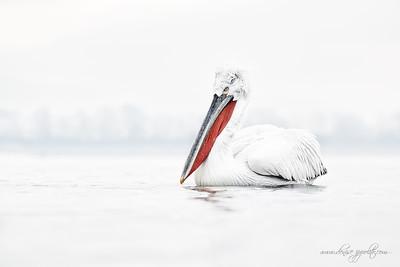 _65C9326Dalmatian-Pelicans,-Greecex
