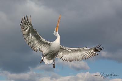 _65C9707Dalmatian-Pelicans,-Greece