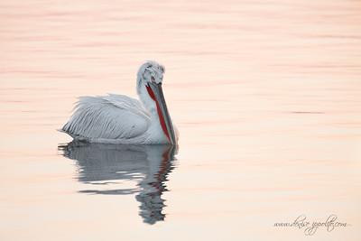 _65C7908Dalmatian-Pelicans,-Greece