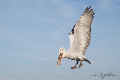_V5R9848Dalmatian-Pelicans,-Greece