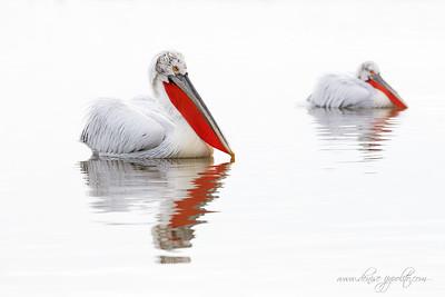 _65C1060Dalmatian-Pelicans,-Greece