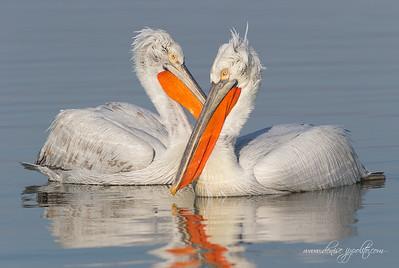 _V5R4168Dalmatian-Pelicans,-Greece