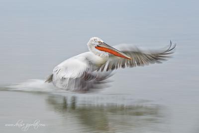 _65C7603Dalmatian-Pelicans,-Greece