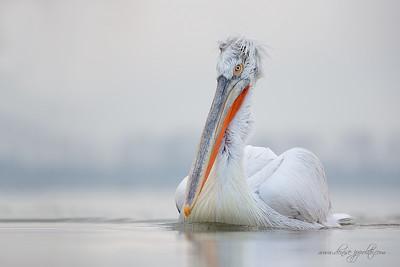 _65C9315Dalmatian-Pelicans,-Greece