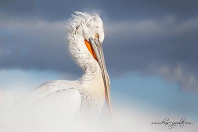 _65C9439Dalmatian-Pelicans,-Greece