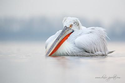 _65C9299Dalmatian-Pelicans,-Greece