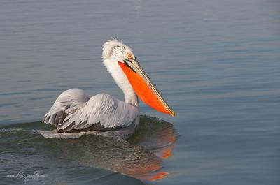 _65C1329Dalmatian-Pelicans,-Greece