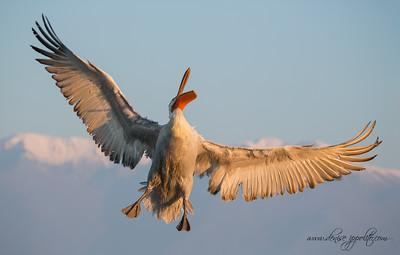 _65C6611Dalmatian-Pelicans,-Greece