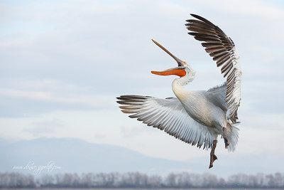 _65C8970Dalmatian-Pelicans,-Greece