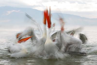_65C9968Dalmatian-Pelicans,-Greece