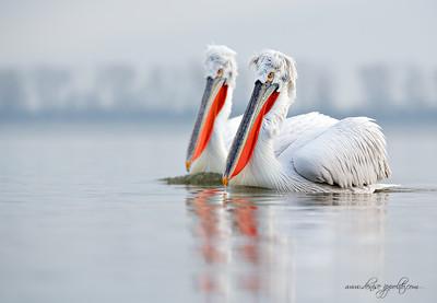 _65C9395Dalmatian-Pelicans,-Greece