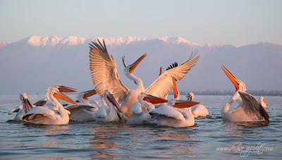 _V5R4279Dalmatian-Pelicans,-Greece