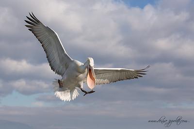 _65C9776Dalmatian-Pelicans,-Greece