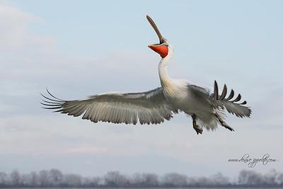 _65C8950Dalmatian-Pelicans,-Greece