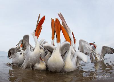 _V5R4504Dalmatian-Pelicans,-Greece