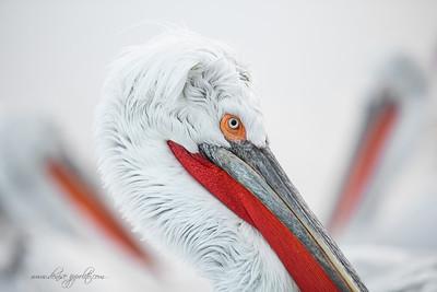 _65C0843Dalmatian-Pelicans,-Greece