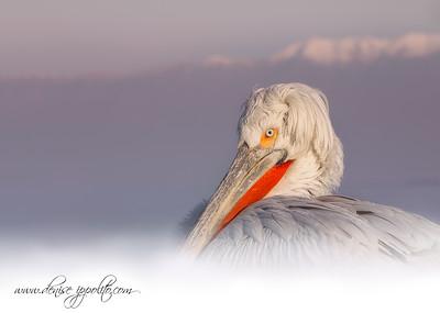 _65C6826Dalmatian-Pelicans,-Greece (2)