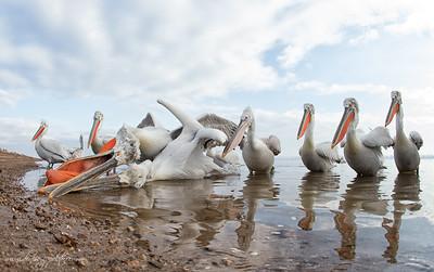 _V5R9409Dalmatian-Pelicans,-Greece