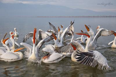 _V5R9090Dalmatian-Pelicans,-Greece