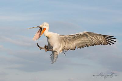 _65C9039Dalmatian-Pelicans,-Greece