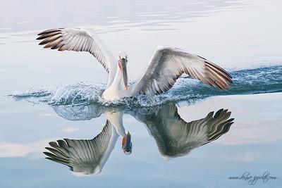 _V5R0106Dalmatian-Pelicans,-Greece,-last-day