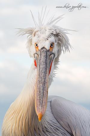 _65C0143Dalmatian-Pelicans,-Greece