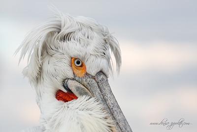 _65C0460Dalmatian-Pelicans,-Greece