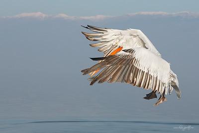 _65C7185Dalmatian-Pelicans,-Greece