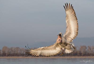 _65C1569Dalmatian-Pelicans,-Greece