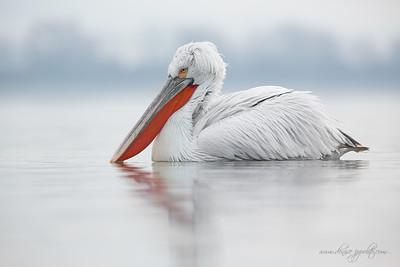 _65C9412Dalmatian-Pelicans,-Greece