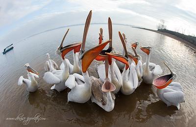 _V5R9500Dalmatian-Pelicans,-Greece