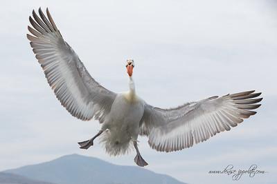 _65C7260Dalmatian-Pelicans,-Greece