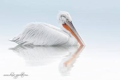 _65C1054Dalmatian-Pelicans,-Greecex