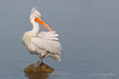 _65C1301Dalmatian-Pelicans,-Greece