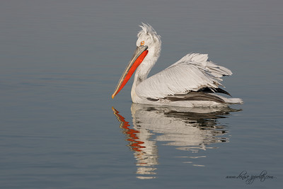 _65C1812Dalmatian-Pelicans,-Greece,-last-day
