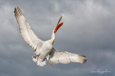 D-_Pictures_Dalmatian-Pelicans,-Greece__65C9720Dalmatian-Pelicans,-Greecex