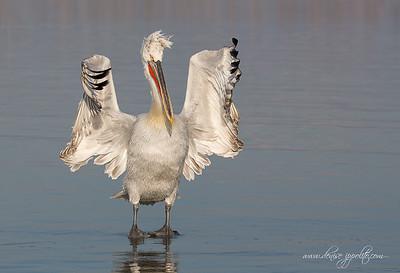 _65C1380Dalmatian-Pelicans,-Greece