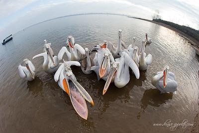 _V5R9491Dalmatian-Pelicans,-Greece