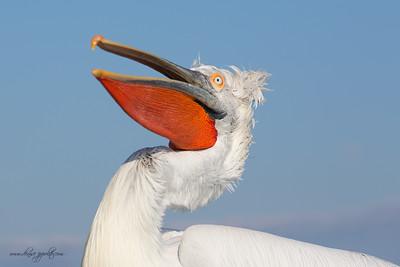 _65C8387Dalmatian-Pelicans,-Greece