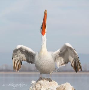 _65C1298Dalmatian-Pelicans,-Greece