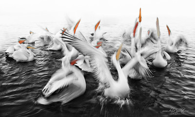 _V5R0373Dalmatian-Pelicans,-Greece,-last-day