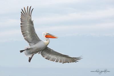 _65C7252Dalmatian-Pelicans,-Greece