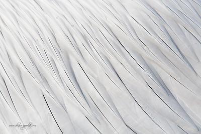_65C8827Dalmatian-Pelicans,-Greece