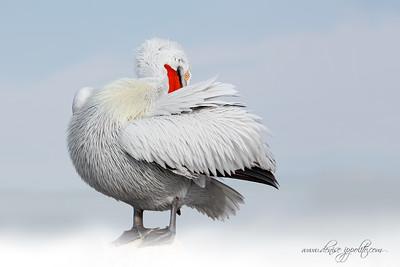 _65C9655Dalmatian-Pelicans,-Greece