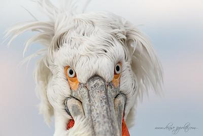 _65C0440Dalmatian-Pelicans,-Greece