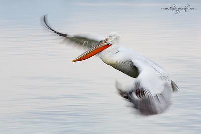 _65C7513Dalmatian-Pelicans,-Greece